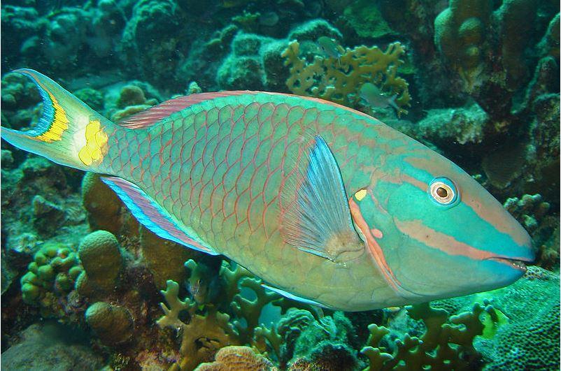 Parrot Fish
